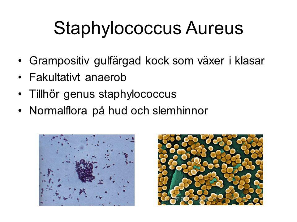 Staphylococcus Aureus Grampositiv gulfärgad kock som växer i klasar Fakultativt anaerob Tillhör genus staphylococcus Normalflora på hud och slemhinnor