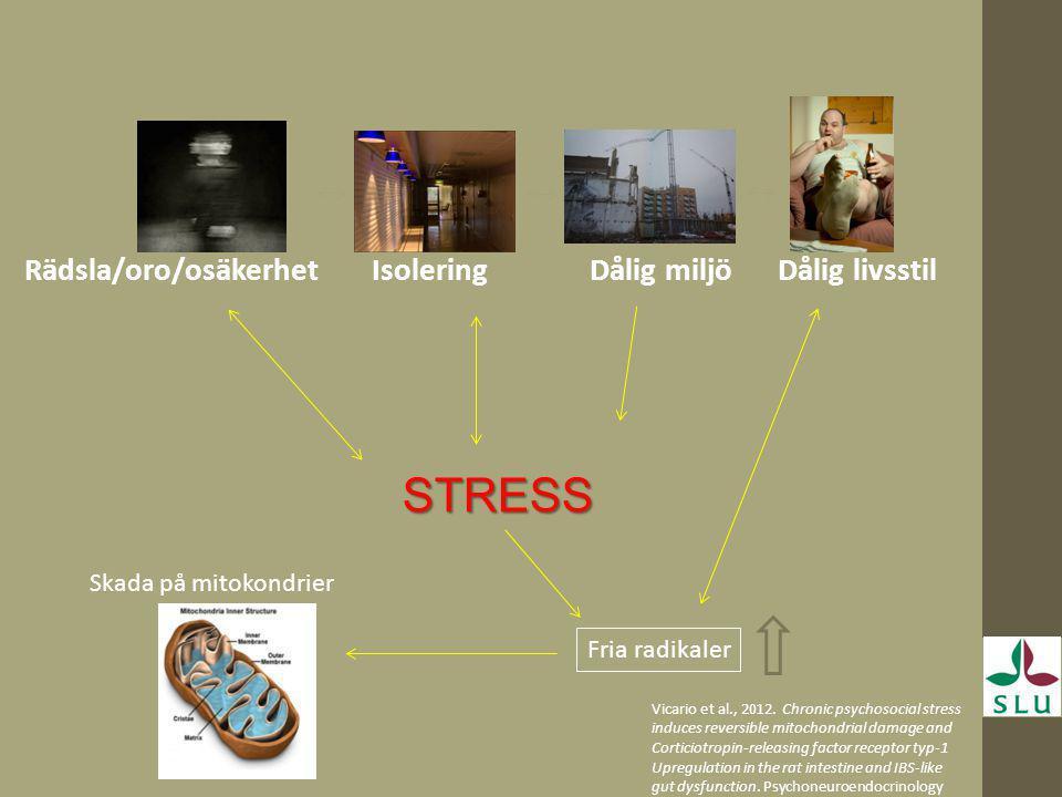 Rädsla/oro/osäkerhet Isolering Dålig miljö Dålig livsstil STRESS Fria radikaler Skada på mitokondrier Vicario et al., 2012. Chronic psychosocial stres
