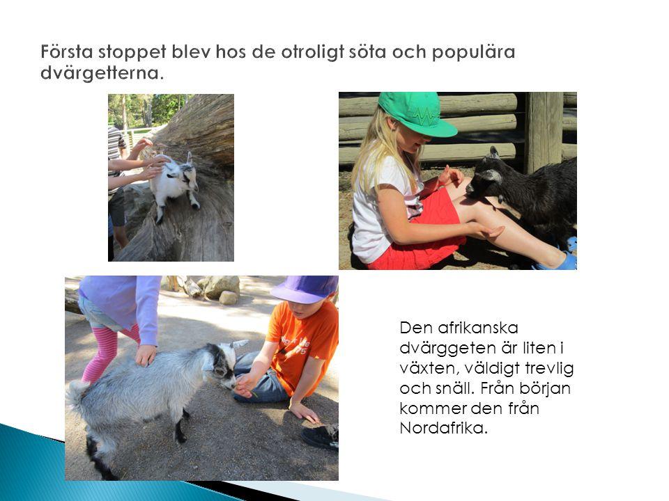 Den afrikanska dvärggeten är liten i växten, väldigt trevlig och snäll.