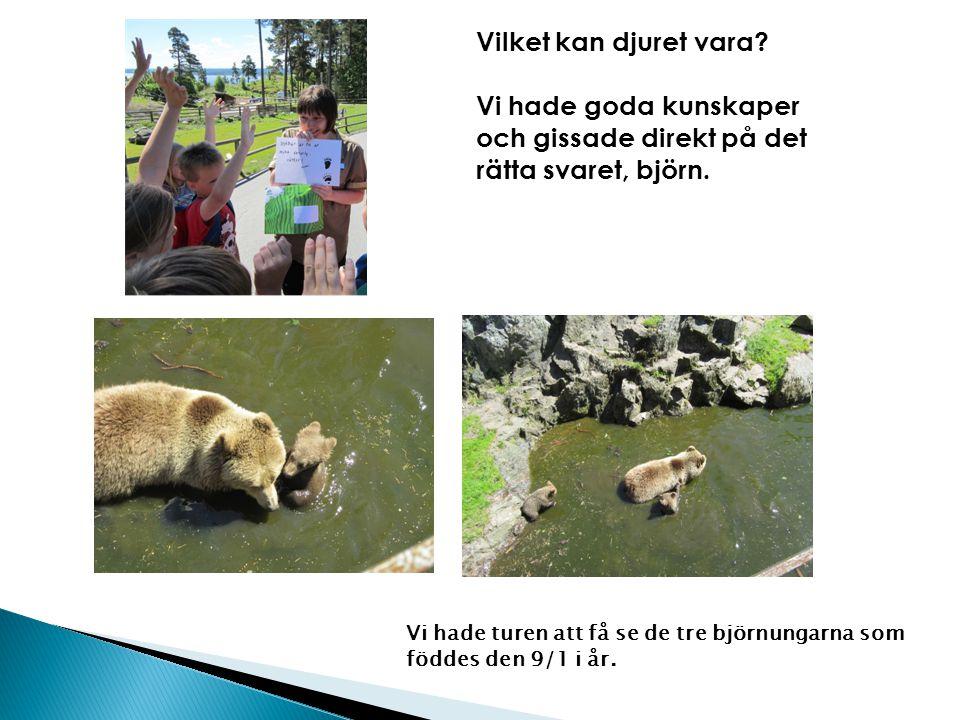 Vilket kan djuret vara? Vi hade goda kunskaper och gissade direkt på det rätta svaret, björn. Vi hade turen att få se de tre björnungarna som föddes d