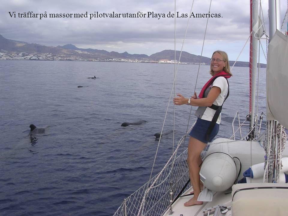Vi träffar på massor med pilotvalar utanför Playa de Las Americas.