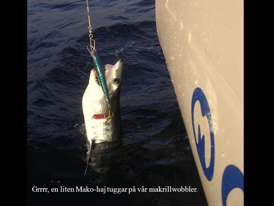 Grrrr, en liten Mako-haj tuggar på vår makrillwobbler.