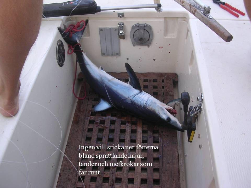 Ingen vill sticka ner fötterna bland sprattlande hajar, tänder och metkrokar som far runt.