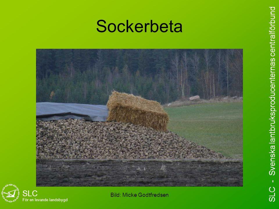 Sockerbeta Bild: Micke Godtfredsen SLC För en levande landsbygd SLC - Svenska lantbruksproducenternas centralförbund