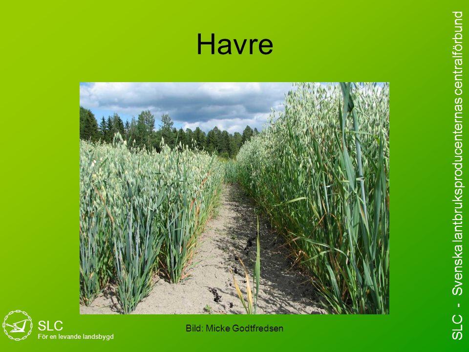 Havre Bild: Micke Godtfredsen SLC För en levande landsbygd SLC - Svenska lantbruksproducenternas centralförbund