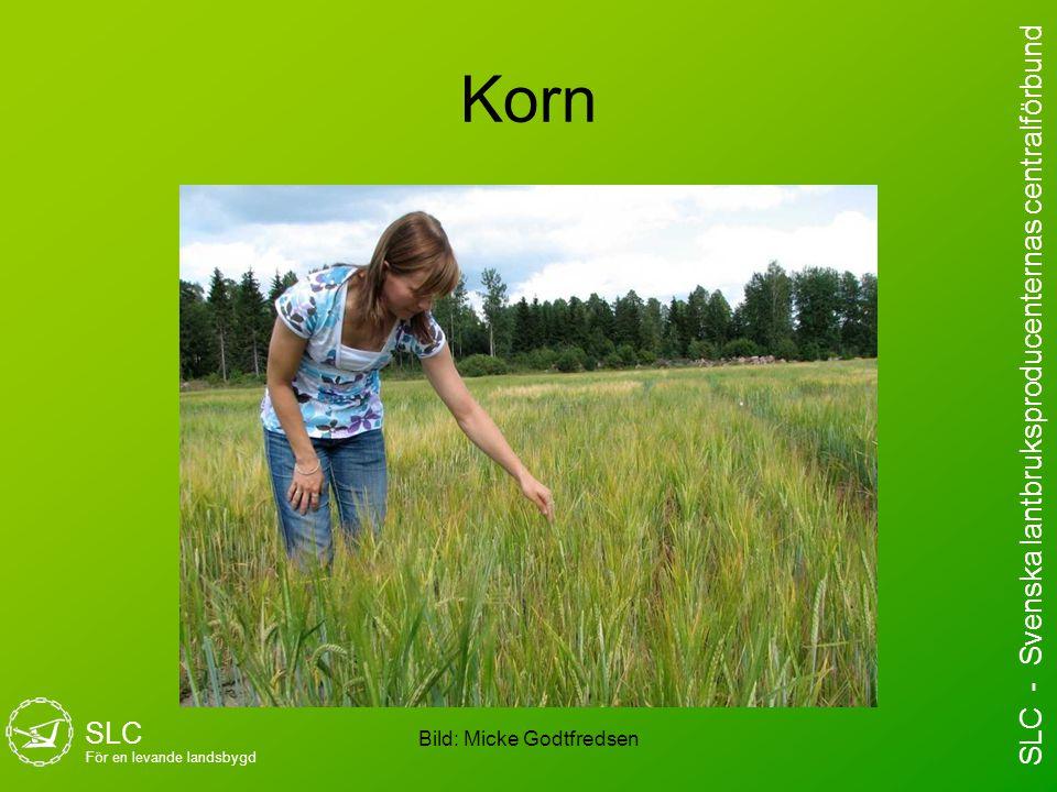 Korn Bild: Micke Godtfredsen SLC För en levande landsbygd SLC - Svenska lantbruksproducenternas centralförbund