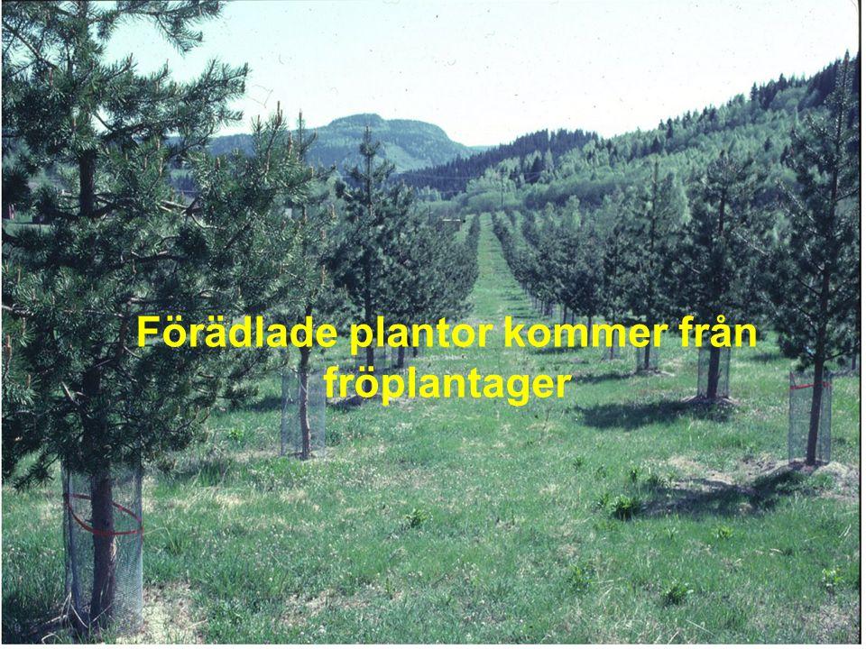 Förädlade plantor kommer från fröplantager