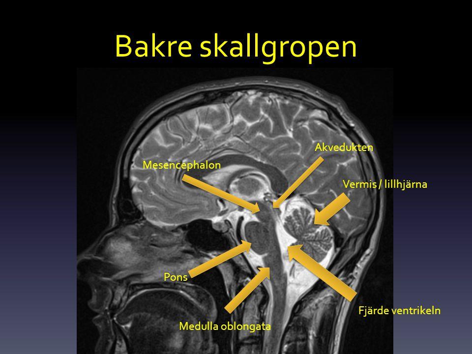 Bakre skallgropen Vermis / lillhjärna Mesencephalon Pons Akvedukten Medulla oblongata Fjärde ventrikeln