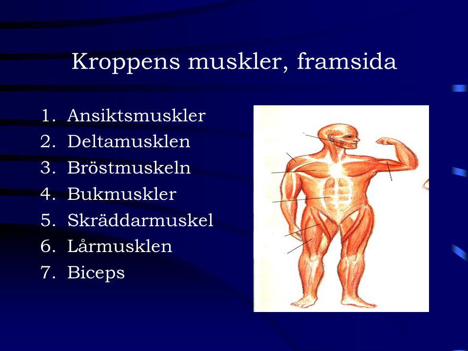 Kroppens muskler, framsida 1.Ansiktsmuskler 2.Deltamusklen 3.Bröstmuskeln 4.Bukmuskler 5.Skräddarmuskel 6.Lårmusklen 7.Biceps