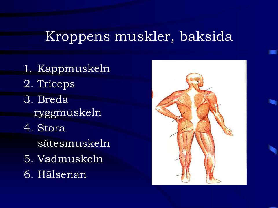 Kroppens muskler, baksida 1. Kappmuskeln 2. Triceps 3. Breda ryggmuskeln 4. Stora sätesmuskeln 5. Vadmuskeln 6. Hälsenan