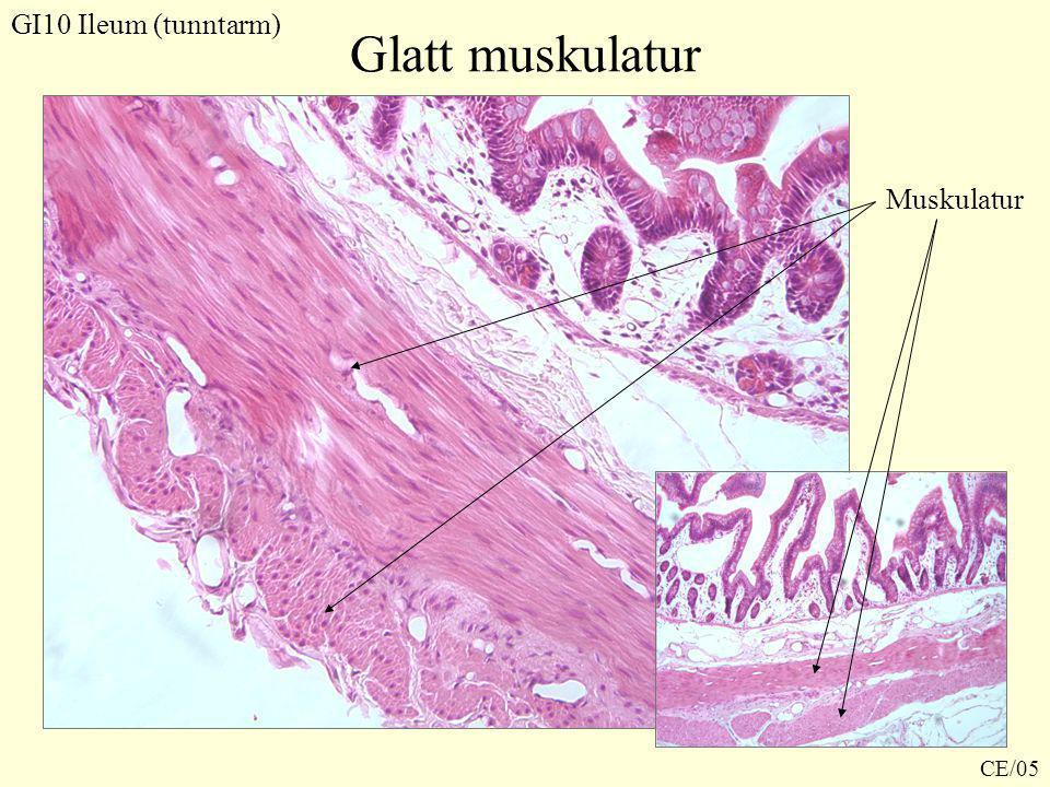 Glatt muskulatur GI10 Ileum (tunntarm) Muskulatur CE/05