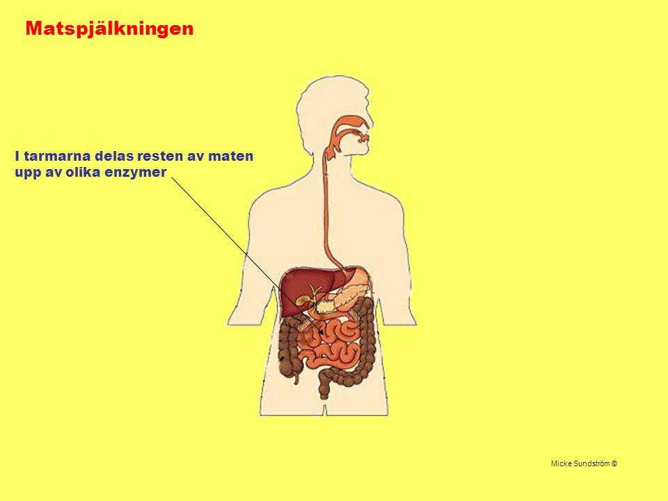 Matspjälkningen Micke Sundström © I tarmarna delas resten av maten upp av olika enzymer
