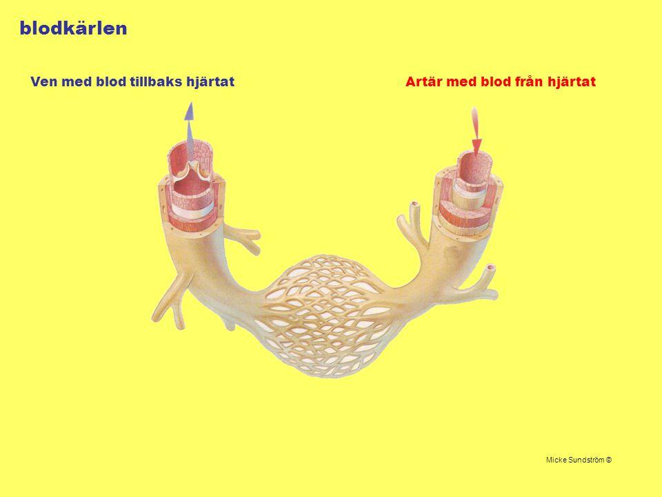 blodkärlen Artär med blod från hjärtatVen med blod tillbaks hjärtat Micke Sundström ©