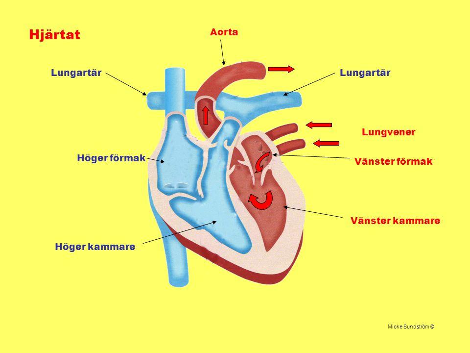 Hjärtat Höger förmak Höger kammare Lungartär Lungvener Vänster förmak Vänster kammare Aorta Micke Sundström ©