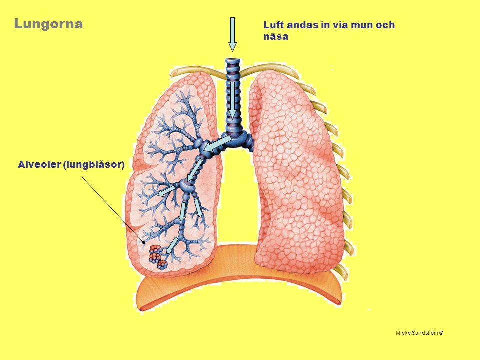 Lungorna Luft andas in via mun och näsa Alveoler (lungblåsor) Micke Sundström ©