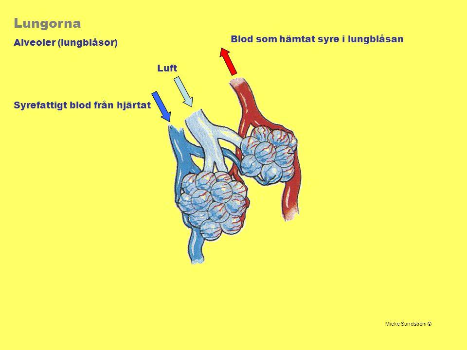 Lungorna Alveoler (lungblåsor) Luft Syrefattigt blod från hjärtat Blod som hämtat syre i lungblåsan Micke Sundström ©