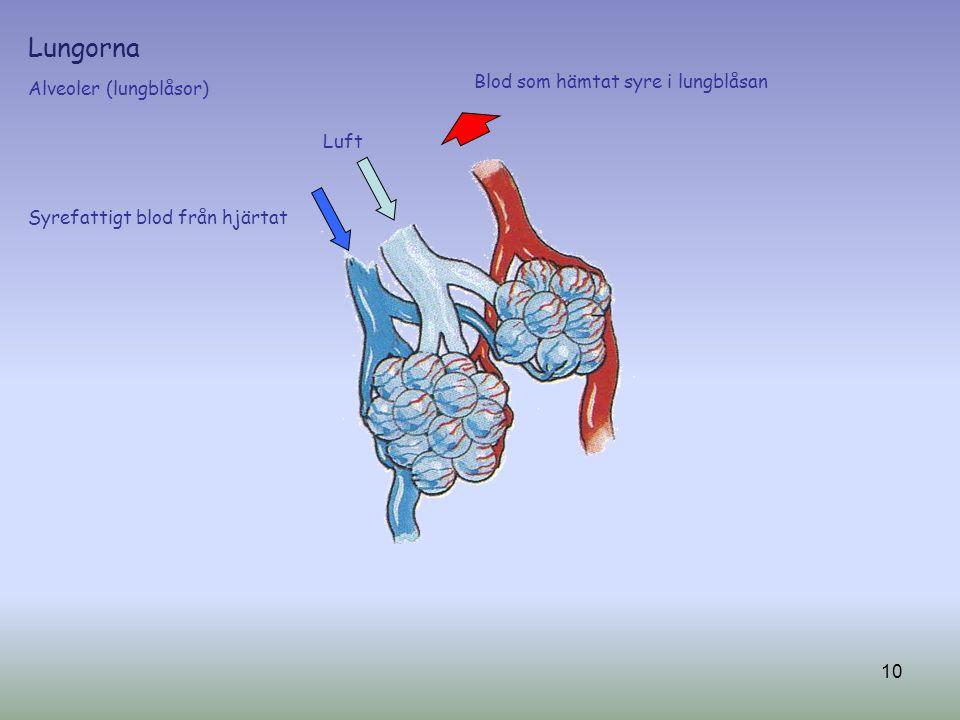 Lungorna Alveoler (lungblåsor) Luft Syrefattigt blod från hjärtat Blod som hämtat syre i lungblåsan 10