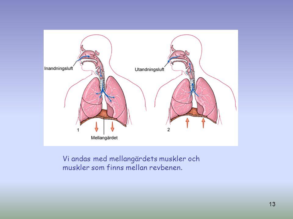 13 Vi andas med mellangärdets muskler och muskler som finns mellan revbenen.