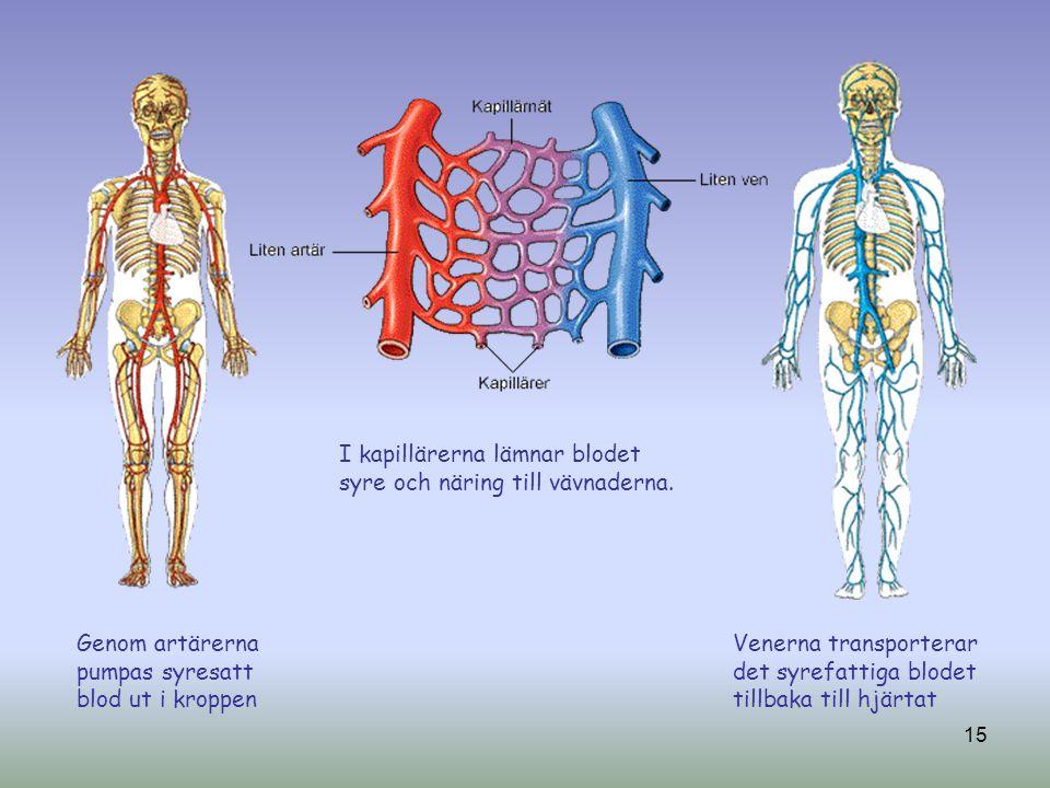 Genom artärerna pumpas syresatt blod ut i kroppen Venerna transporterar det syrefattiga blodet tillbaka till hjärtat I kapillärerna lämnar blodet syre