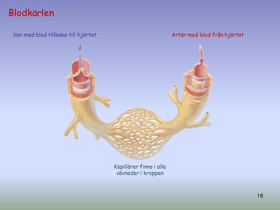 Blodkärlen Artär med blod från hjärtatVen med blod tillbaka till hjärtat 16 Kapillärer finns i alla vävnader i kroppen