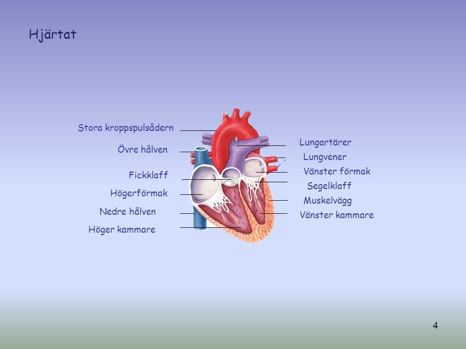 Stora kroppspulsådern Övre hålven Fickklaff Högerförmak Nedre hålven Höger kammare Lungartärer Lungvener Vänster förmak Segelklaff Muskelvägg Vänster