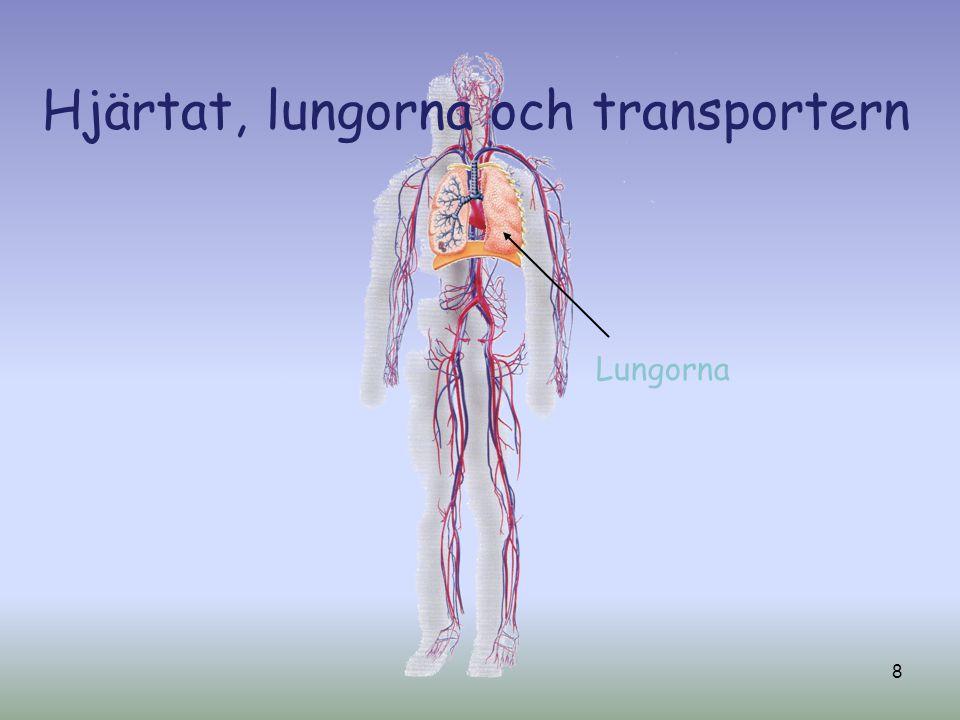 Hjärtat, lungorna och transportern Lungorna 8