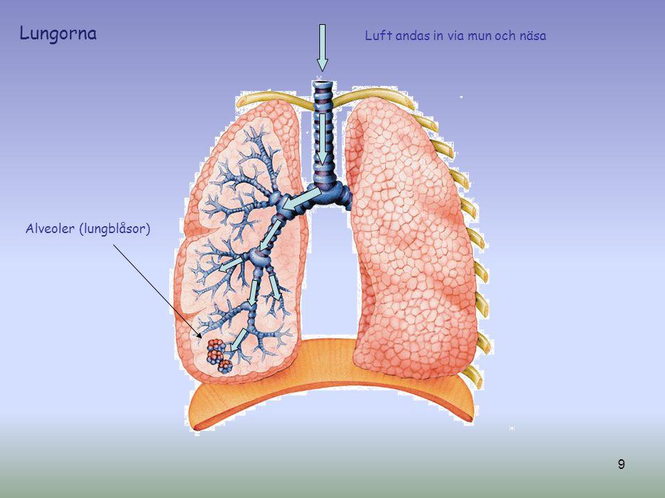 Luft andas in via mun och näsa Alveoler (lungblåsor) 9