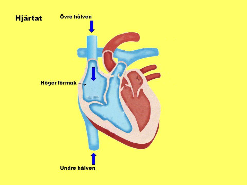 Hjärtat Övre hålven Undre hålven Höger förmak
