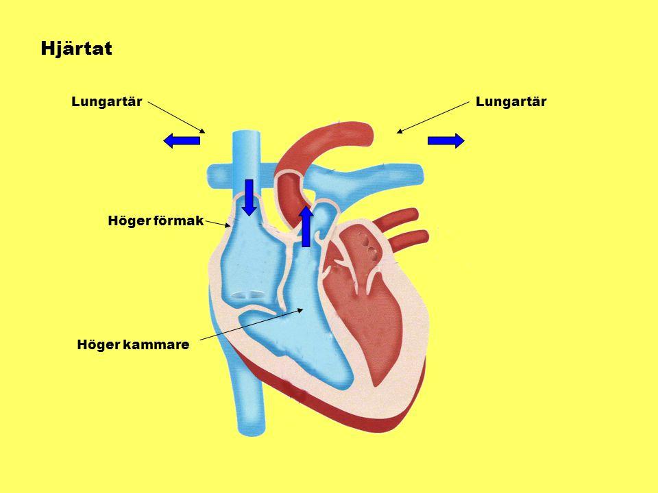 Hjärtat Höger förmak Höger kammare Lungartär