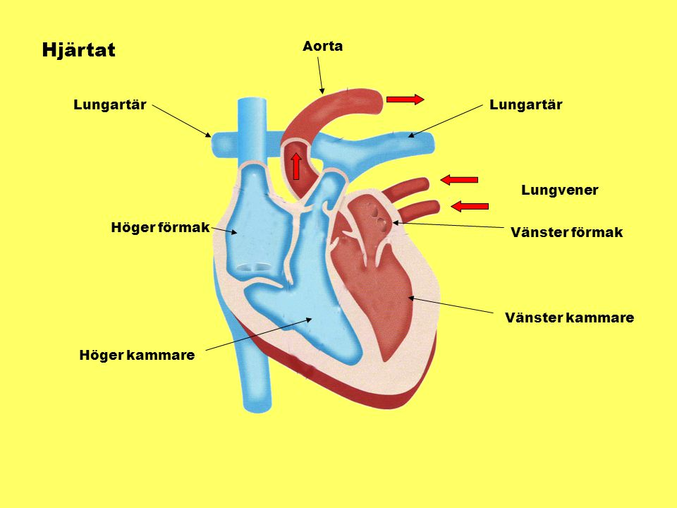 Kroppens blodsystem Hjärtat Lungorna Matspjälkningen