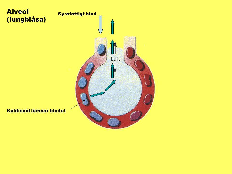 Syret i inandningsluften tas upp av blodet Syrerikt blod går mot hjärtat
