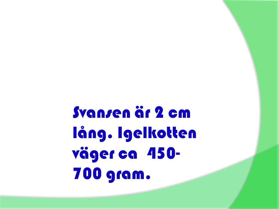 Svansen är 2 cm lång. Igelkotten väger ca 450- 700 gram.