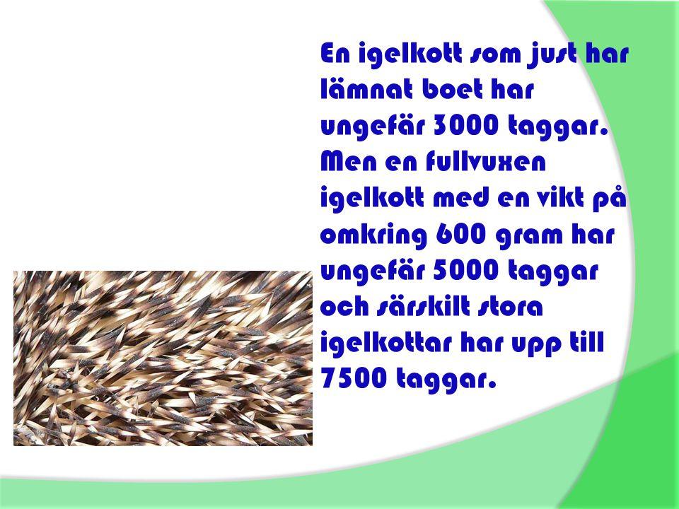 En igelkott som just har lämnat boet har ungefär 3000 taggar. Men en fullvuxen igelkott med en vikt på omkring 600 gram har ungefär 5000 taggar och sä