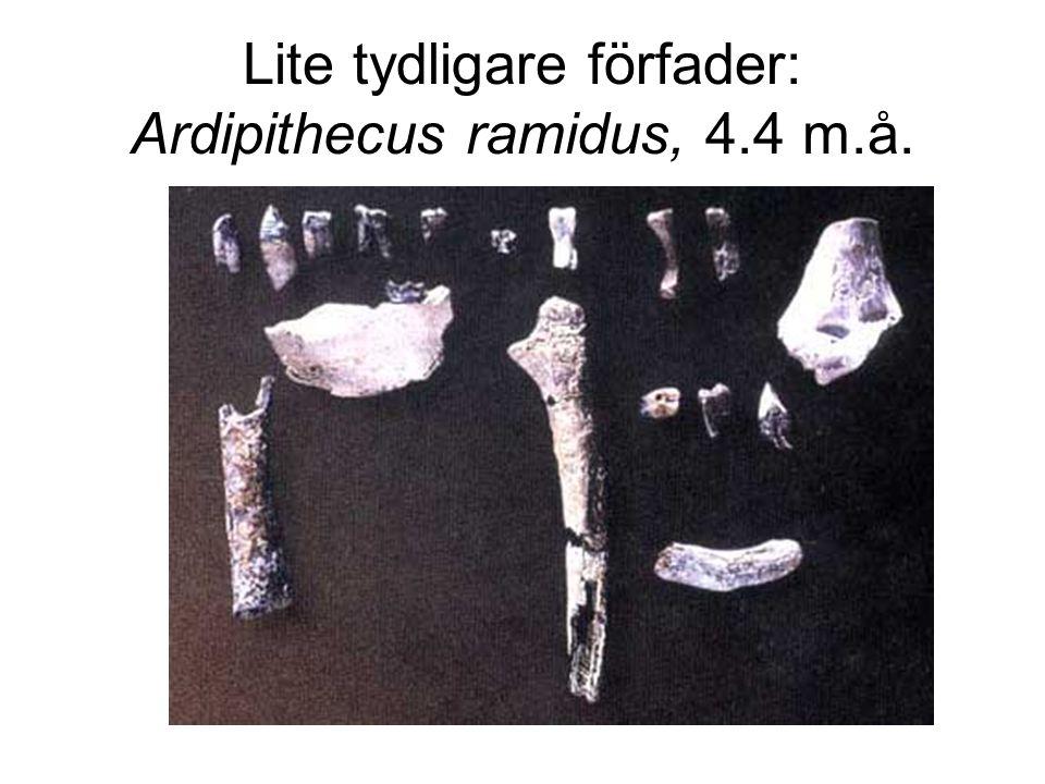Lite tydligare förfader: Ardipithecus ramidus, 4.4 m.å.