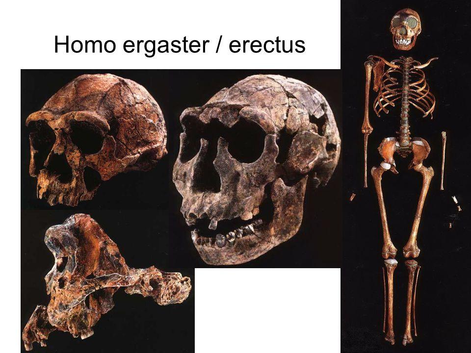 Homo ergaster / erectus