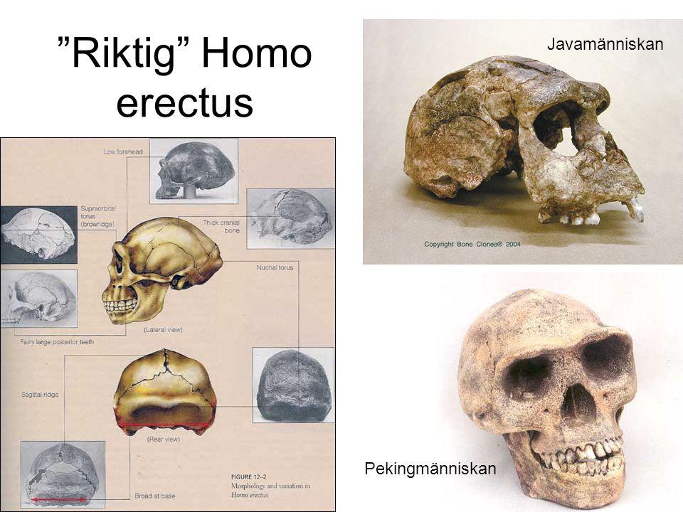 """""""Riktig"""" Homo erectus Javamänniskan Pekingmänniskan"""