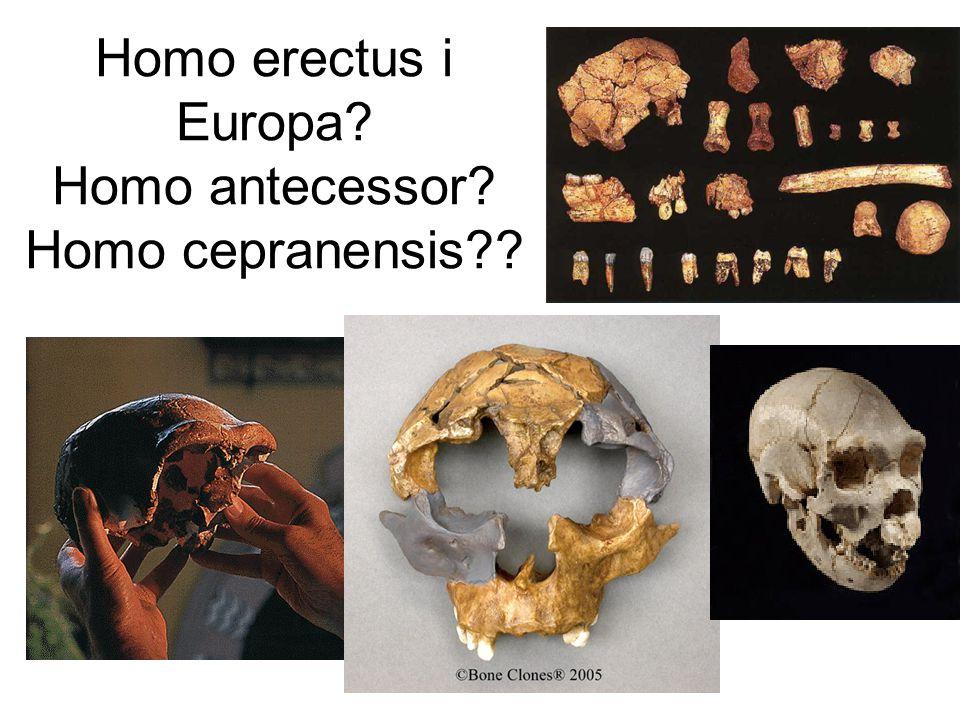 Homo heidelbergensis Arago Bodo Petralona Mauer Övergångsformer mellan Homo erectus och sapiens.