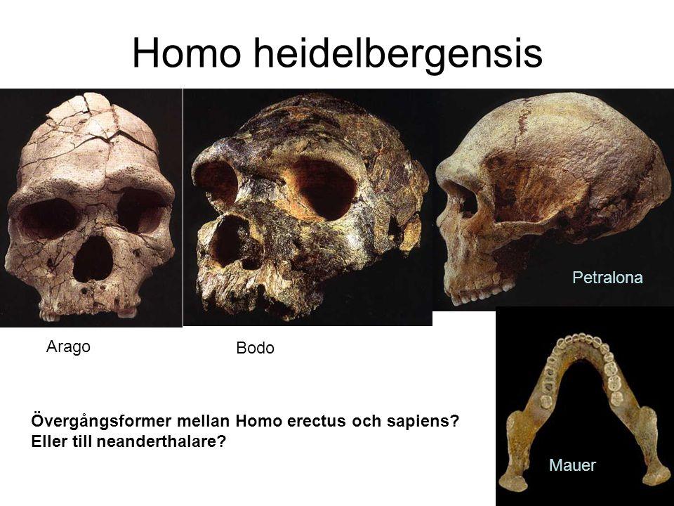 Homo heidelbergensis Arago Bodo Petralona Mauer Övergångsformer mellan Homo erectus och sapiens? Eller till neanderthalare?