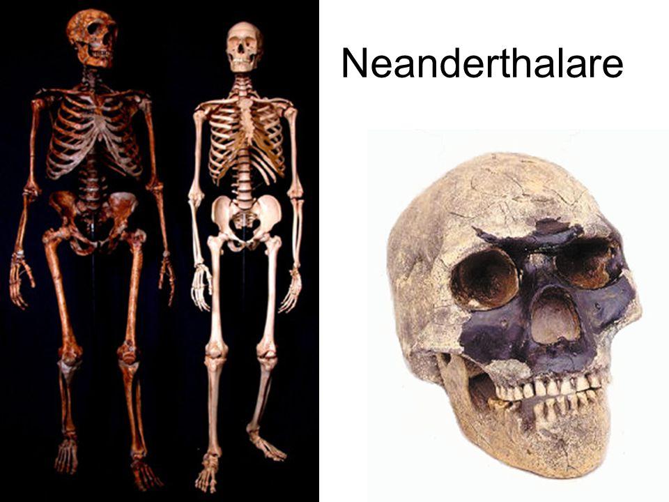Jämförelse Neanderthalare -- vi Spädbarn: Gammal gubbe: