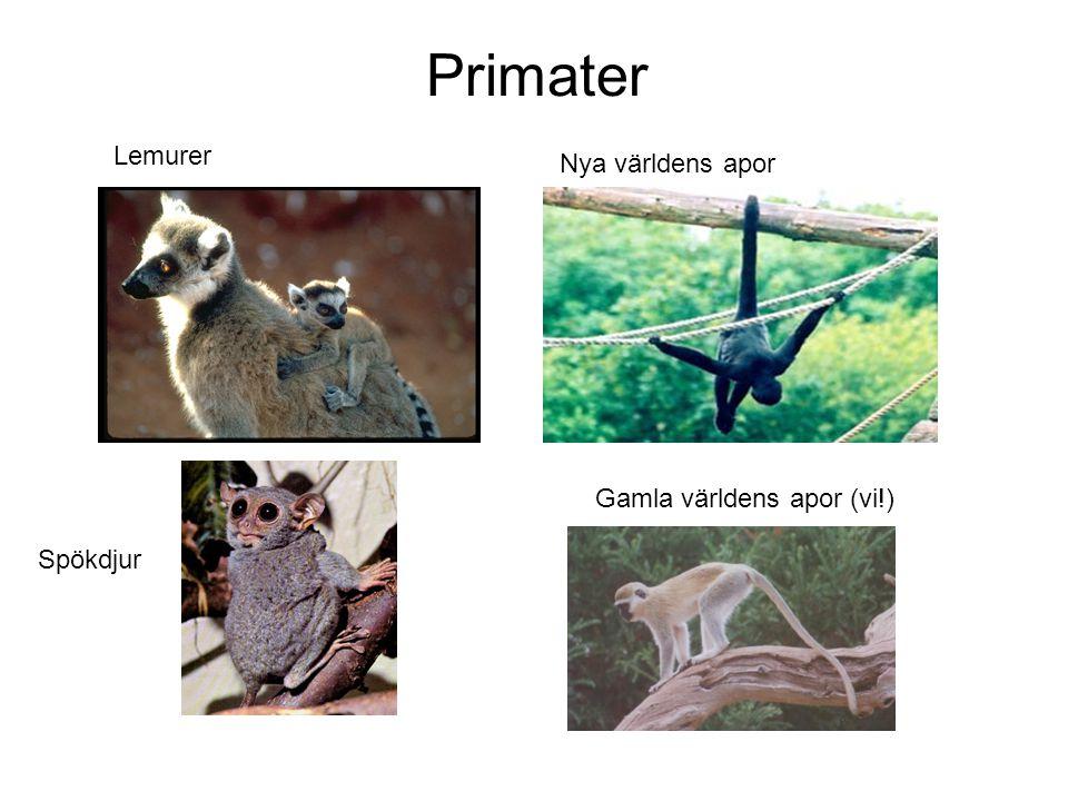 Primater Spökdjur Lemurer Nya världens apor Gamla världens apor (vi!)