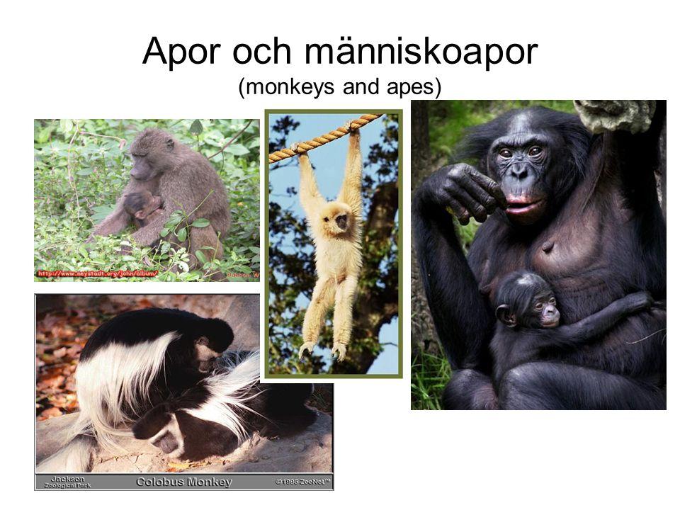 Apor och människoapor (monkeys and apes)