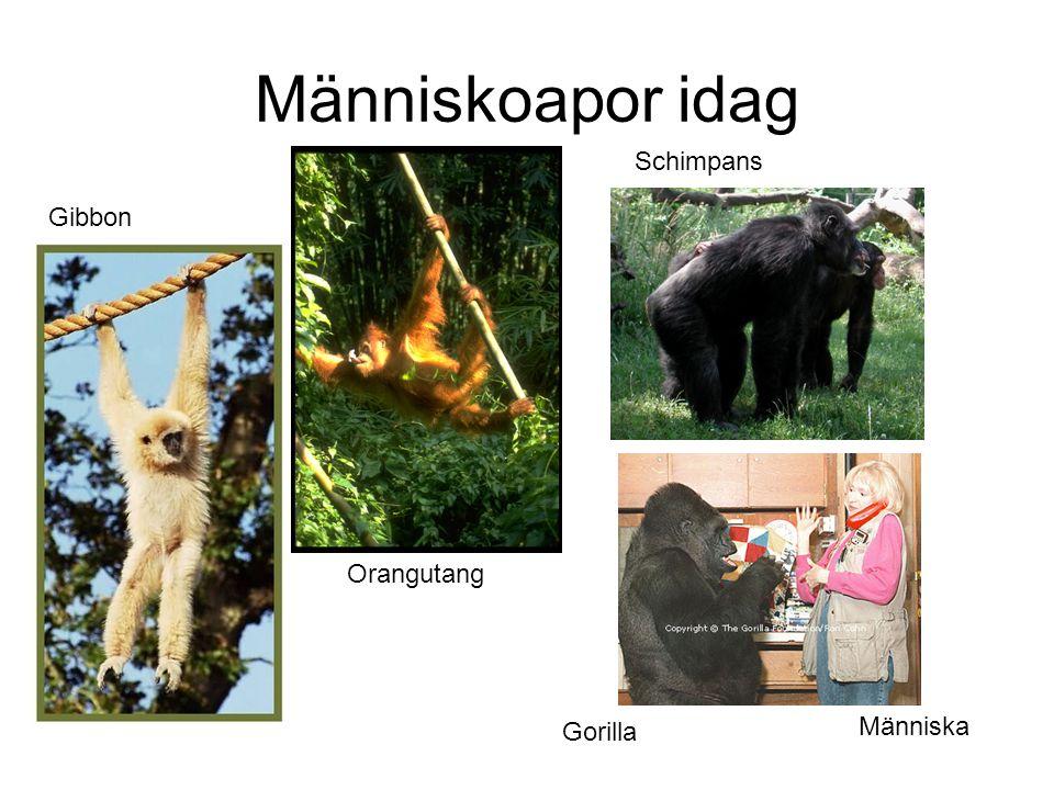 Människoapor idag Gibbon Orangutang Schimpans Gorilla Människa