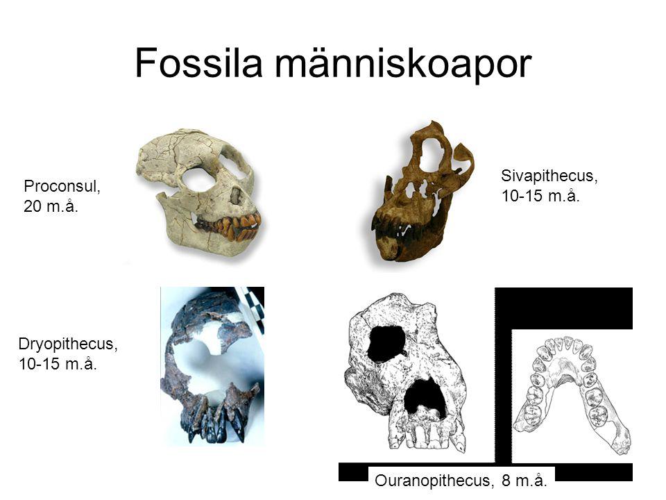 Tre kandidater till första mänskliga fossilet: –Ardipithecus kadabba –Sahelanthropus tchadensis –Orrorin tugenensis Alla tre är –5-6 miljoner år gamla –Fragmentariska fossil –Svårtolkade Vi och de andra skiljs åt Orrorin Sahel- anthropus Ardipithecus