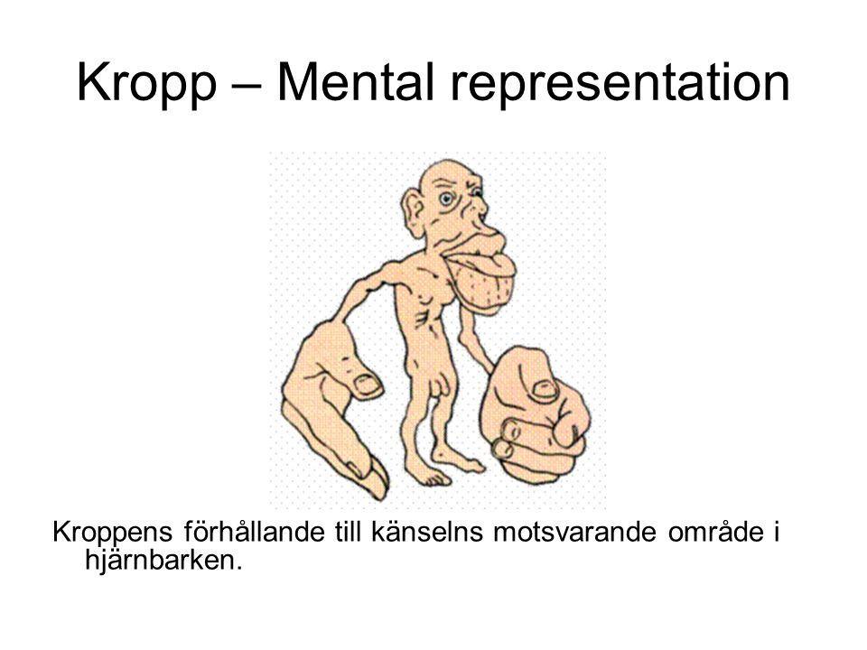 Kropp – Mental representation Kroppens förhållande till känselns motsvarande område i hjärnbarken.