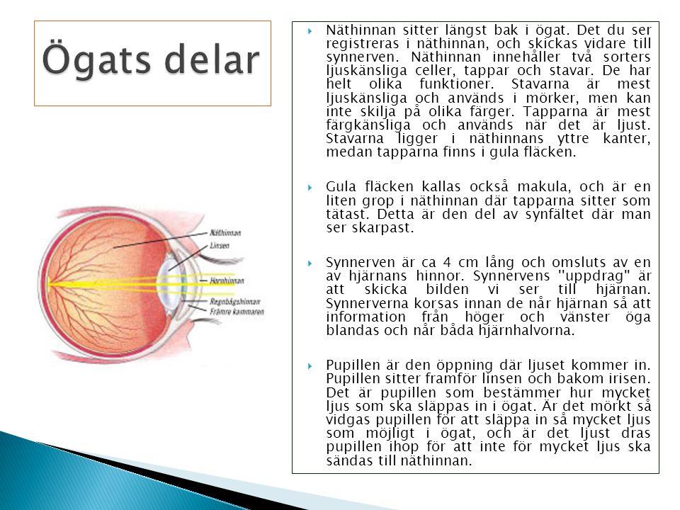  Näthinnan sitter längst bak i ögat. Det du ser registreras i näthinnan, och skickas vidare till synnerven. Näthinnan innehåller två sorters ljuskäns