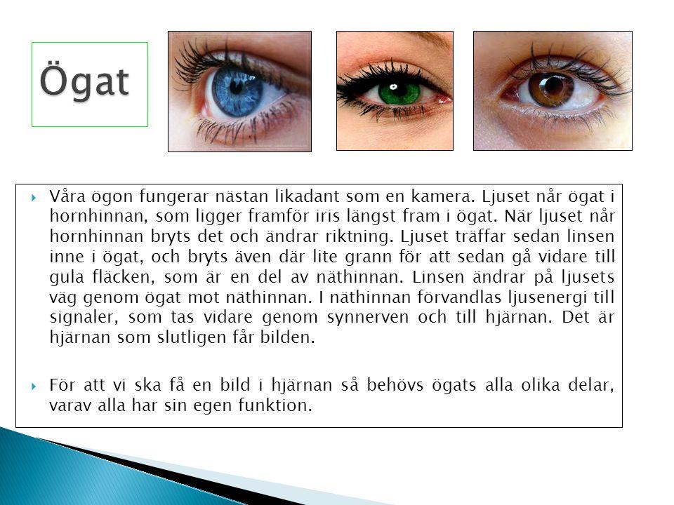  Våra ögon fungerar nästan likadant som en kamera. Ljuset når ögat i hornhinnan, som ligger framför iris längst fram i ögat. När ljuset når hornhinna