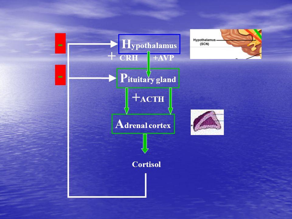 H ypothalamus A drenal cortex P ituitary gland + CRH +AVP + ACTH Cortisol - -