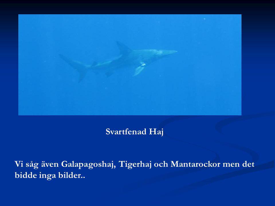 Svartfenad Haj Vi såg även Galapagoshaj, Tigerhaj och Mantarockor men det bidde inga bilder..