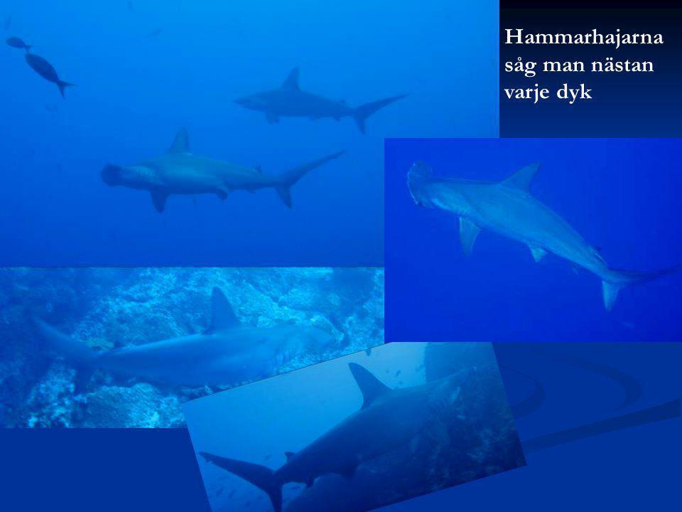 Hammarhajarna såg man nästan varje dyk