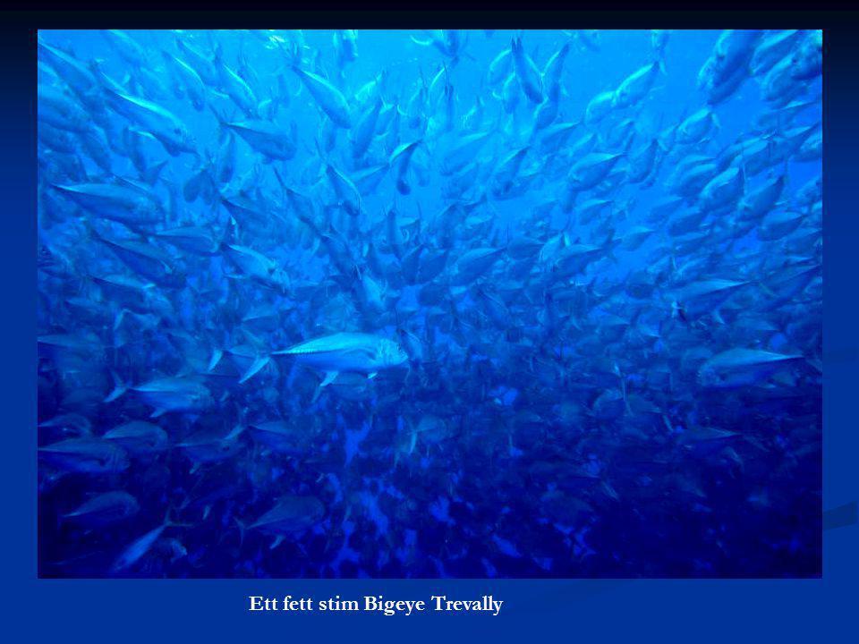 Ett fett stim Bigeye Trevally